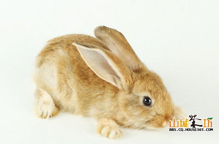 可爱兔兔萌宠壁纸