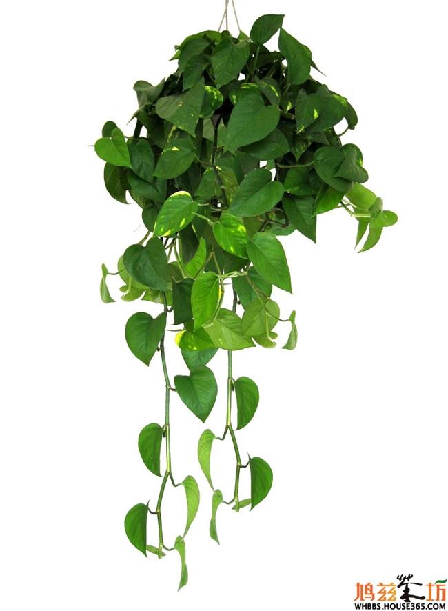 室内植物图片及名称【绿萝】