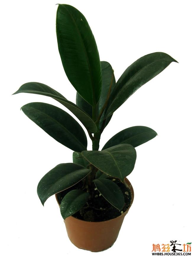 室内植物图片及名称【橡皮树】